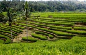 rizières en cascade bali indonésie