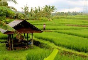 rizières ile de java Indonésie