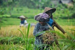travail dans les rizières habitants