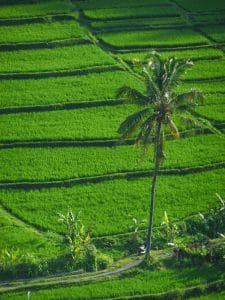 nature luxuriante bali rizières