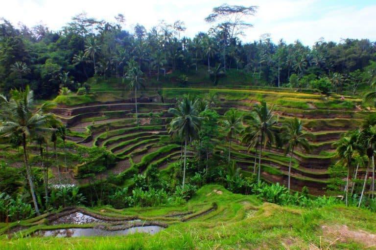 paysage balinais rizières nature
