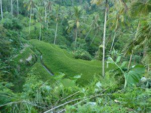 paysage rizières végétation luxuriante bali