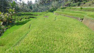 rizières bali paysage nature indonésie