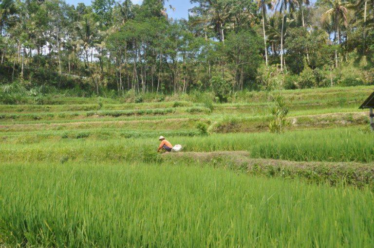 paysage rizières balinaise