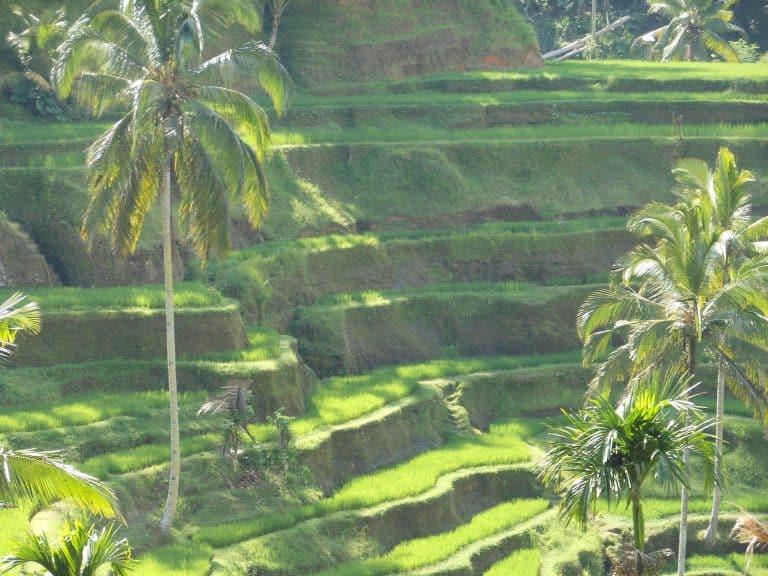 paysage typique bali rizières