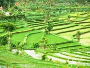 rizières végétation indonésie bali