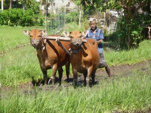 travail rizière bali culture