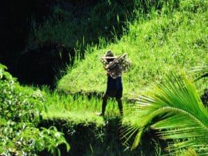 habitants balinais dans les champs de riz