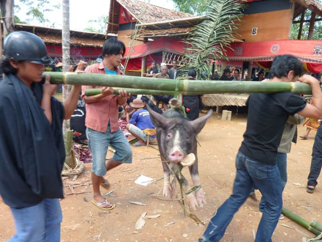 sulawesi sacrifice animal ceremonie funeraire toraja