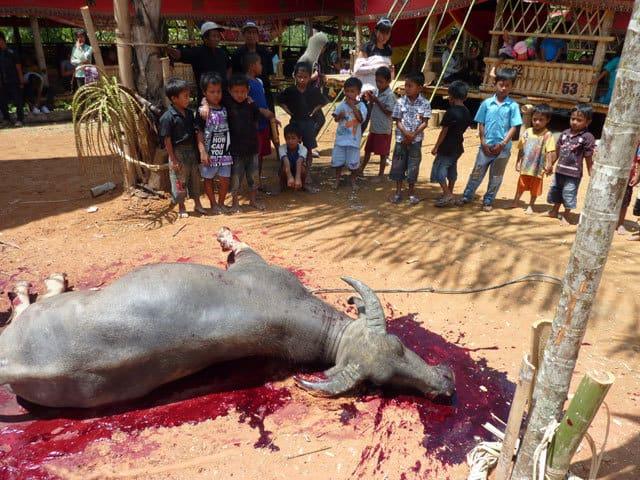 sulawesi sacrifice bete toraja ceremonie funeraire