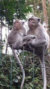 singes macaques ubud bali