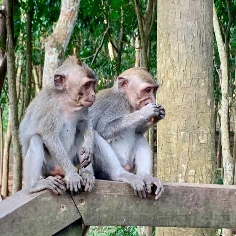 singes ubud bali monkey forest
