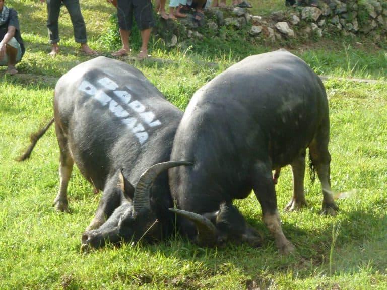 Sulawesi Toraja buffle combat