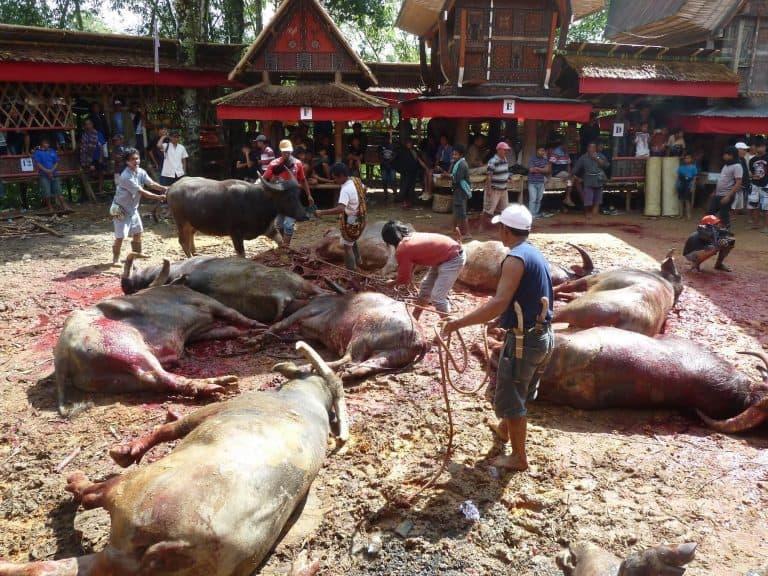 Sulawesi Toraja buffle sacrifice