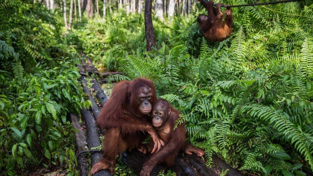 Sumatra Indonesia animaux singe forèt