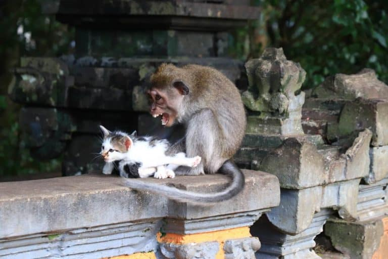 temoignage avis bali authentique singe chat