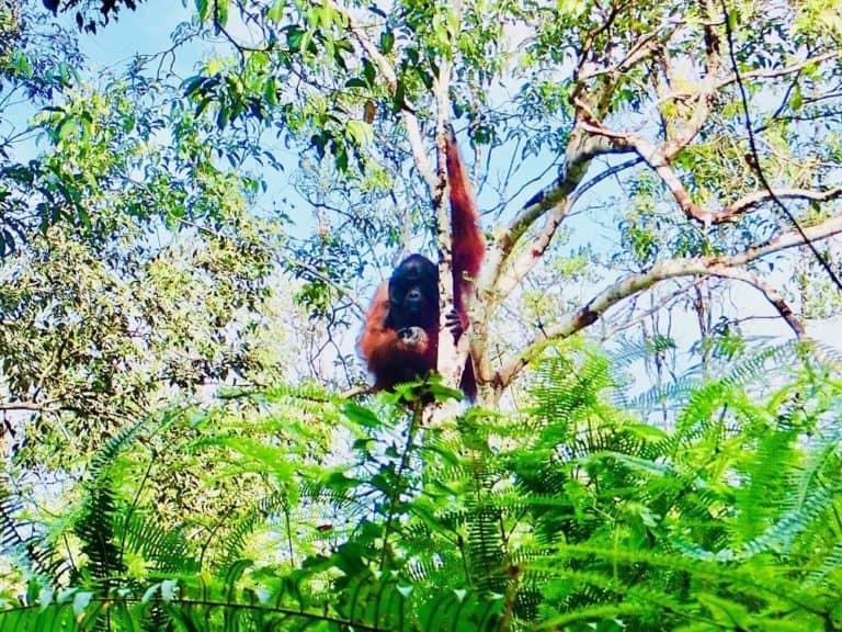 testimonial orang outan borneo