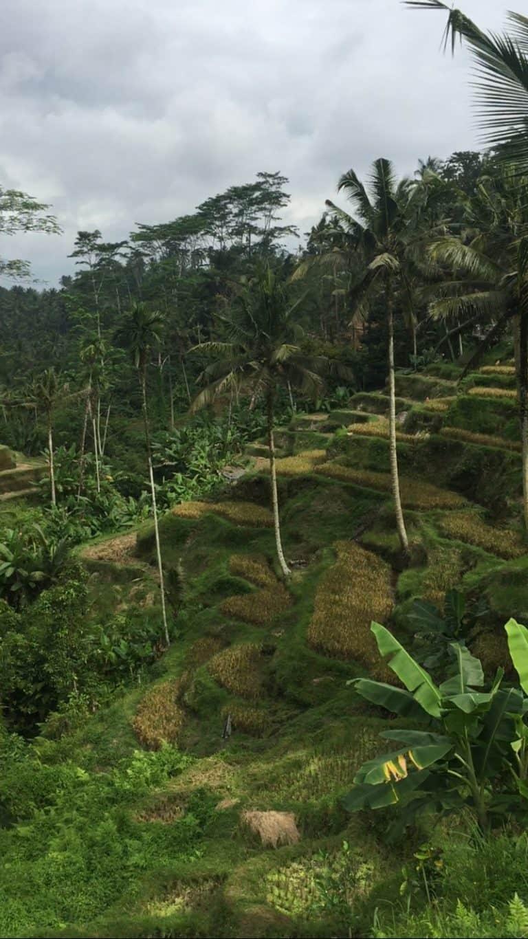 testimonial rice field pano