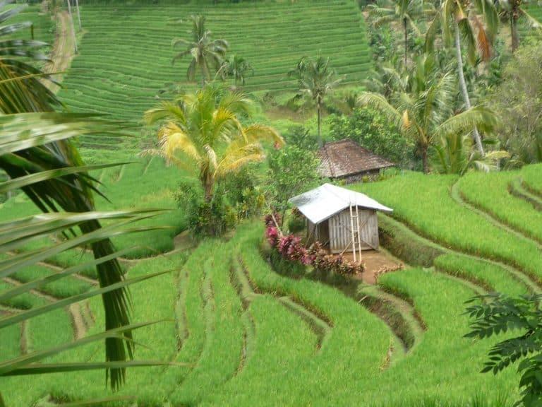 testimonial ricefields