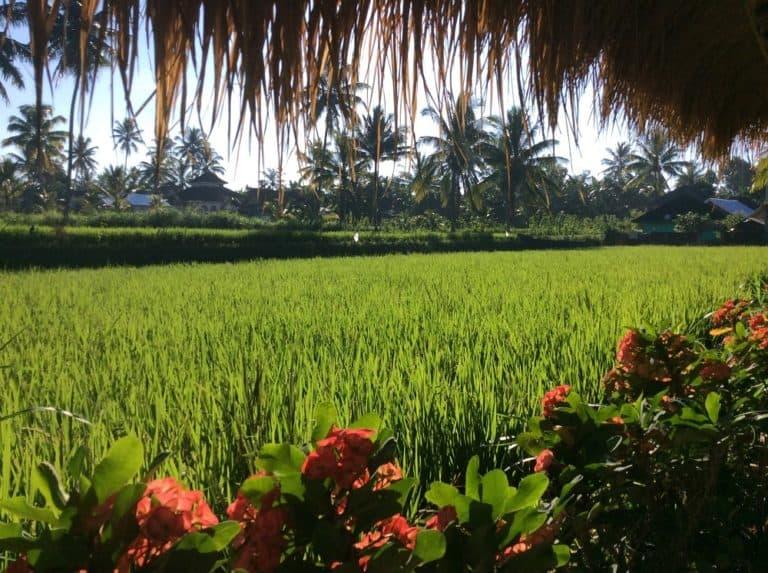testimony-ricefield-indonesia