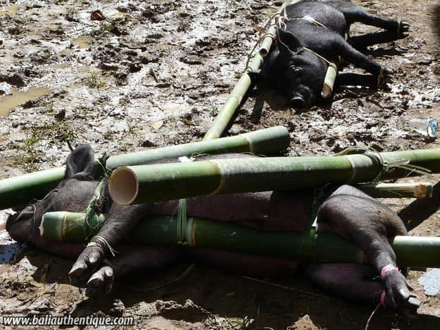 sulawesi tomate funeraire toraja sacrifices cochons