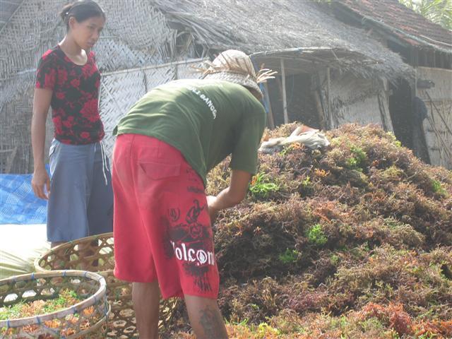 travail algues nusa lembongan ile pres bali