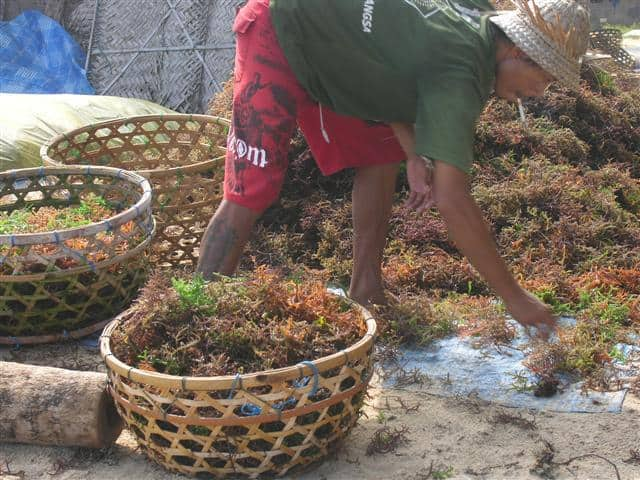 travail nusa lembongan algues culture