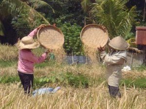 travailleuse dans les champs bali