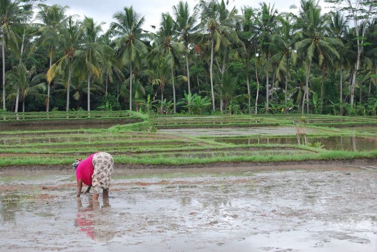 riziculture bali travail ancestral