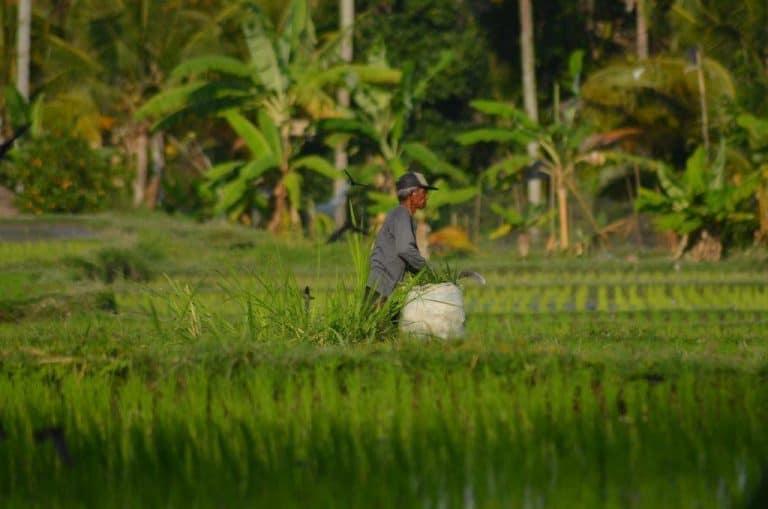 travail dans les rizières jatiluwih bali