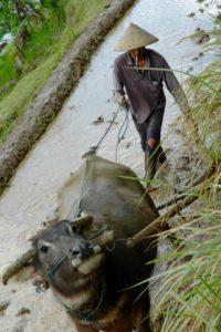 vie locale rizière bali
